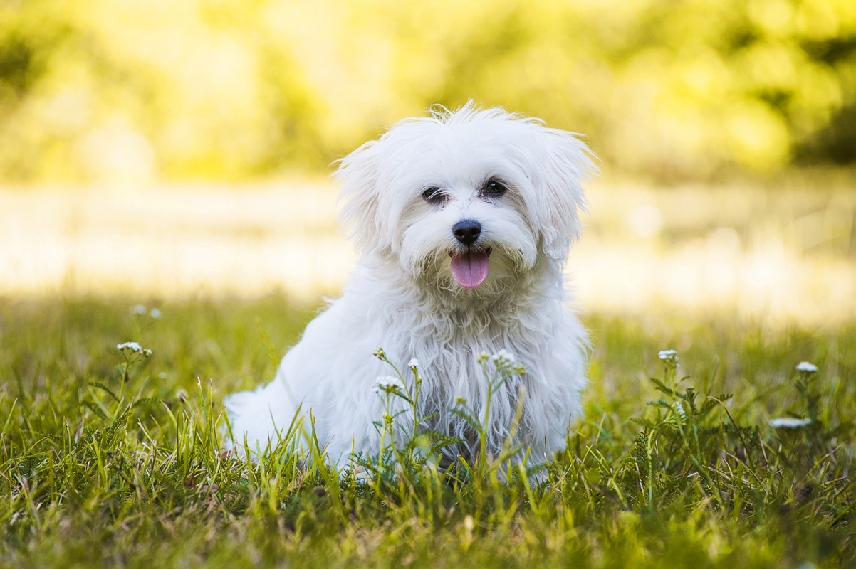 Are There Really No Maltese Dogs In The Maltese Islands Domain Islands Tour